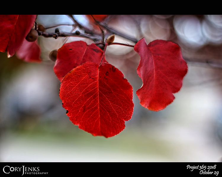 "2018 Project 365: October 29 - Red Leaves<br /> <br /> ""How beautifully leaves grow old. How full of light and color are their last days.""<br /> <br /> ~ John Burroughs"