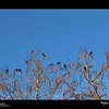 2019 Project 365: January 13 - Birds of a Feather<br /> <br /> Birds gathering in the Catalpa tree against the beautiful blue Colorado sky.