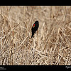 2019 Project 365: March 16 - Red Winged<br /> <br /> A red-winged blackbird east of the greater Denver area.