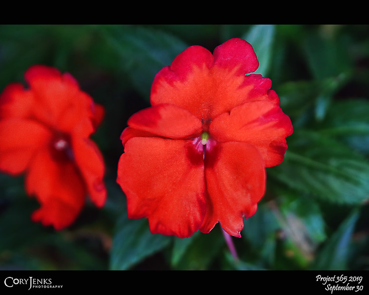 """2019 Project 365: September 30 - Crimson<br /> <br /> """"It is courage, courage, courage, that raises the blood of life to crimson splendor. Live bravely and present a brave front to adversity.""""<br /> <br /> ~ Horace"""