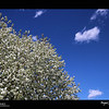 2019 Project 365: April 28 - White on Blue<br /> <br /> Tree in full white bloom and the beautiful blue Colorado sky!