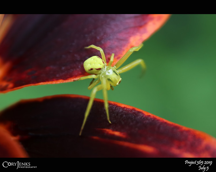 2019 Project 365: July 5 - Arachnid<br /> <br /> Tiny bright yellow spider darting across the flowers. I believe this is a yellow crab spider.