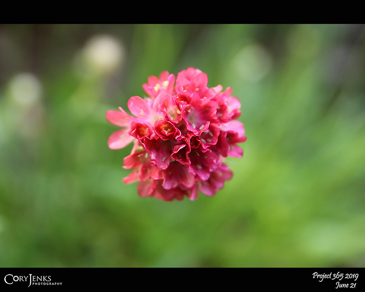 """2019 Project 365: June 21 - Little Flower<br /> <br /> """"Just living is not enough... one must have sunshine, freedom, and a little flower.""""<br /> <br /> ~ Hans Christian Andersen"""