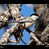 2019 Project 365: March 28 - Black-capped Chickadee<br /> <br /> More signs of spring arriving as the birds are out and about!