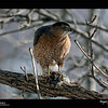 2019 Project 365: January 1 - Sharp-Shinned Hawk<br /> <br /> Best way to start off the new year is with a good meal. The bird feeders in the yard keep the finches and chickadees fed, but this also supplies the raptors with a buffet as well.
