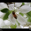 "2019 Project 365: May 5 - The Bee<br /> <br /> ""The bee collects honey from flowers in such a way as to do the least damage or destruction to them, and he leaves them whole, undamaged and fresh, just as he found them.""<br /> <br /> ~ Saint Francis de Sales"