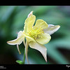2019 Project 365: May 30 - Columbine<br /> <br /> Did you know the the long, narrow strips streaming horizontally out of the back of the flower are called spurs? Yeehaw!