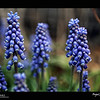 2019 Project 365: April 27 - Muscari<br /> <br /> Don't let Colorado fool you; it may be blooming Blue Grape Hyacinths, but another storm is looming next week.