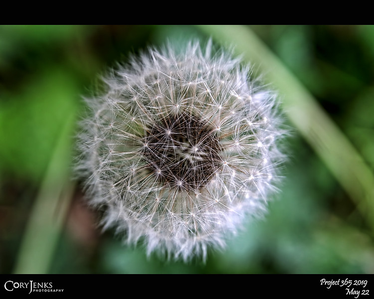 """2019 Project 365: May 22 - Dandelion<br /> <br /> """"Dandelions, like all things in nature, are beautiful when you take time to pay attention to them"""" <br /> <br /> ~ June Stoyer"""