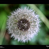 "2019 Project 365: May 22 - Dandelion<br /> <br /> ""Dandelions, like all things in nature, are beautiful when you take time to pay attention to them"" <br /> <br /> ~ June Stoyer"