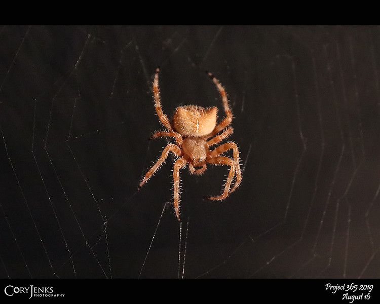 2019 Project 365: August 16 - Araneus Gemmoides<br /> <br /> Commonly known as a cat-faced spider, this orb weaver has been hanging out on the front porch for abouth a month helping to keep it insect free.