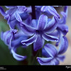2019 Project 365: April 11 - Spider<br /> <br /> A tiny spider tucked away in the blue jacket hyacinth.