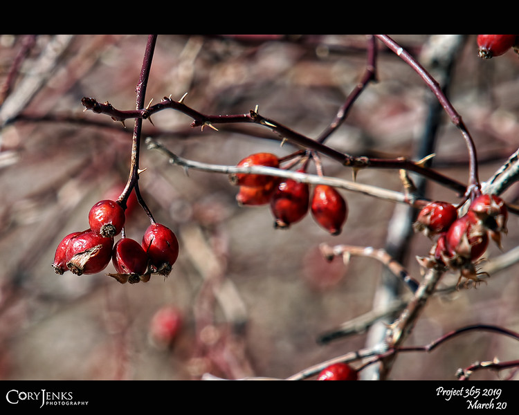"""2019 Project 365: March 20 - Thorns<br /> <br /> """"One thorn of experience is worth a whole wilderness of warning.""""<br /> <br /> ~ James Russell Lowell"""