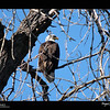 2019 Project 365: March 18 - Iconic<br /> <br /> Went on a walk yesterday around Barr Lake to view the nesting bald eagles. This immature was the closet one I was able to shoot. Could've  picked a better place to perch.