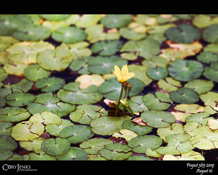 """2019 Project 365: August 10 - Lily Pads<br /> <br /> """"Don't cry anymore, she tells herself. Just do one thing at a time. Get from hour to hour and day to day like a frog jumping on lily pads.""""<br /> <br /> ~ Margaret Atwood"""