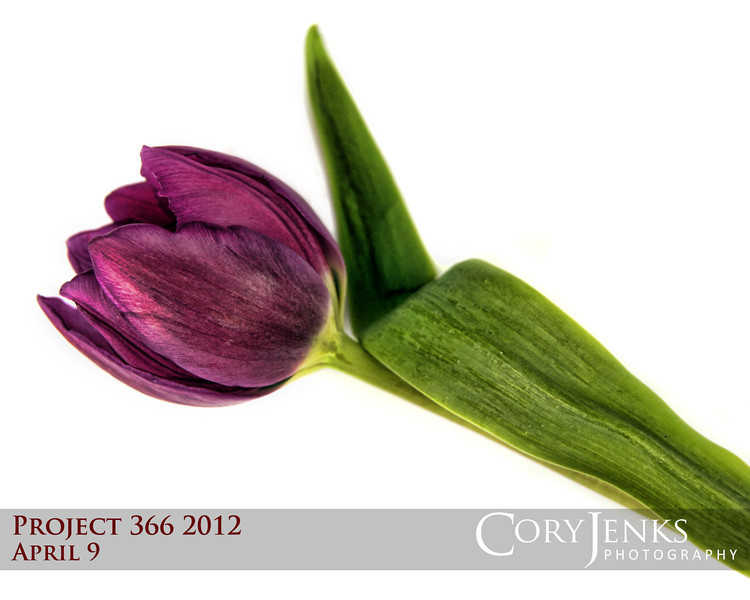 Project 366: April 9 - Tulip. A simple tulip on white under light.