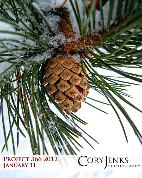 Project 366: January 11 - Snow Cone. We had 60 degree plus weather yesterday and a high of 28 today. Snow falling on Colorado pines is always a photo opportunity.