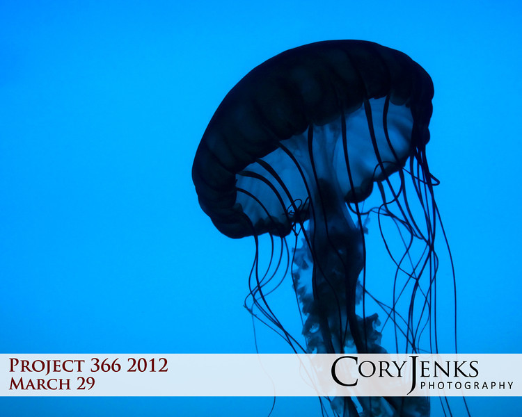 Project 366: March 29 - Contrast. The jellyfish and its weightless movements were rather hypnotic.