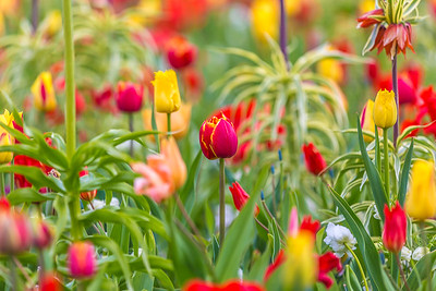 Tulips, State Flower of the Netherlands
