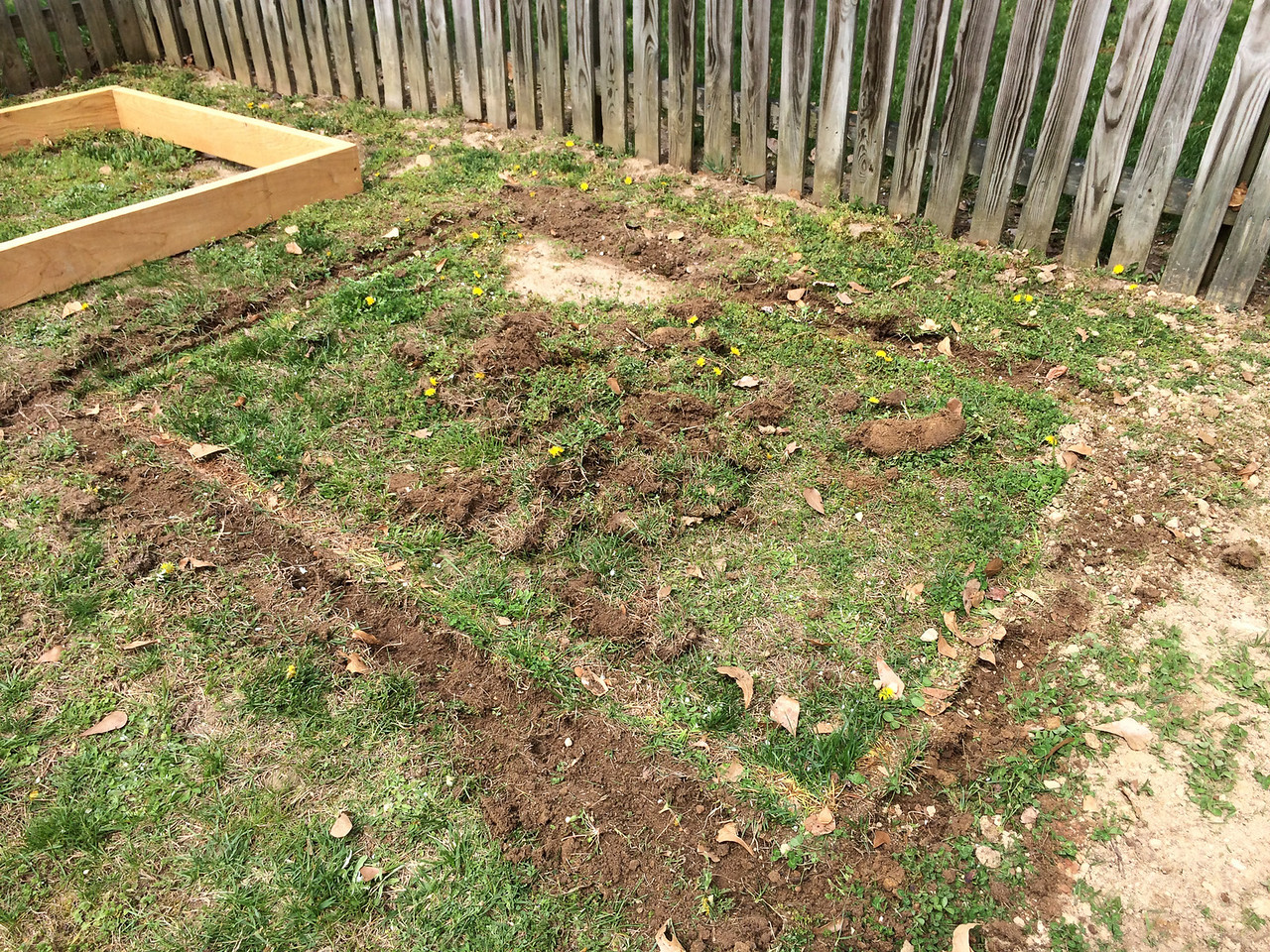 Starting the second bed. Carved out sod from the border with a mattock and then got to work with the shovel.