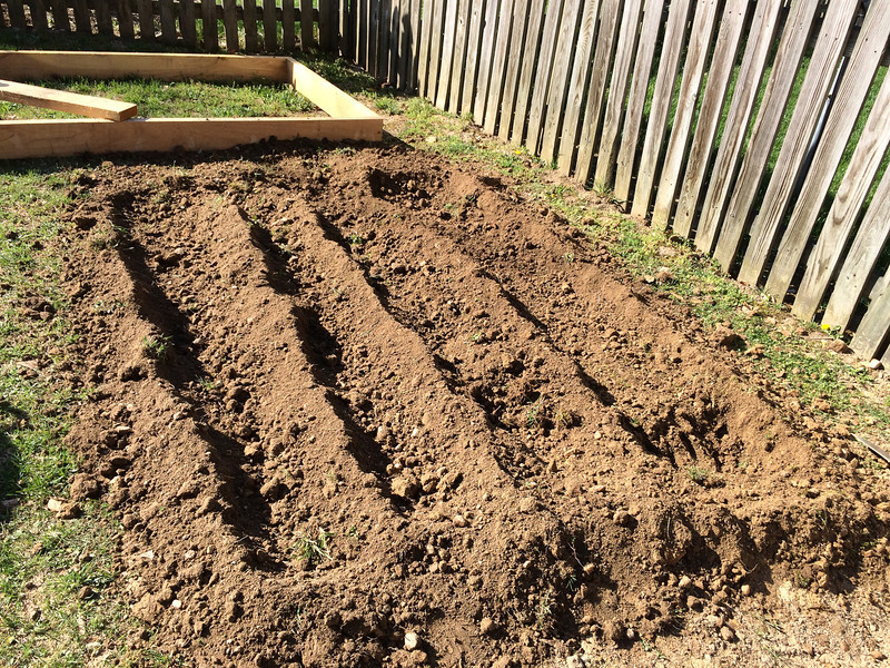 After digging and then tilling the second bed. Digging took a whole afternoon; tilling it afterward, only a few minutes.