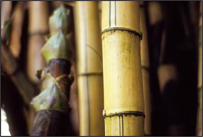 Bamboo 2, Kodachrome, 1977