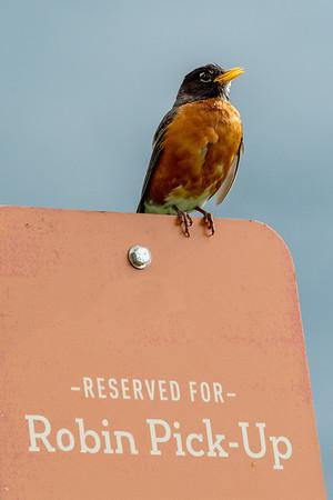 015-bird_robin-ankeny-25may19-06x09-209-500-0540