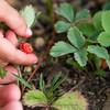 """Day 156 (1 of 2)<br /> Splains Gulch<br /> """"Picking wild strawberries with Ellie"""""""