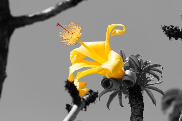 Yellow Boab Flower