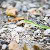 September 2017 - Rough Green Snake