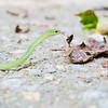 September 2017 - Rough Green Snake