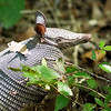 September 2017 - Nine banded armadillo