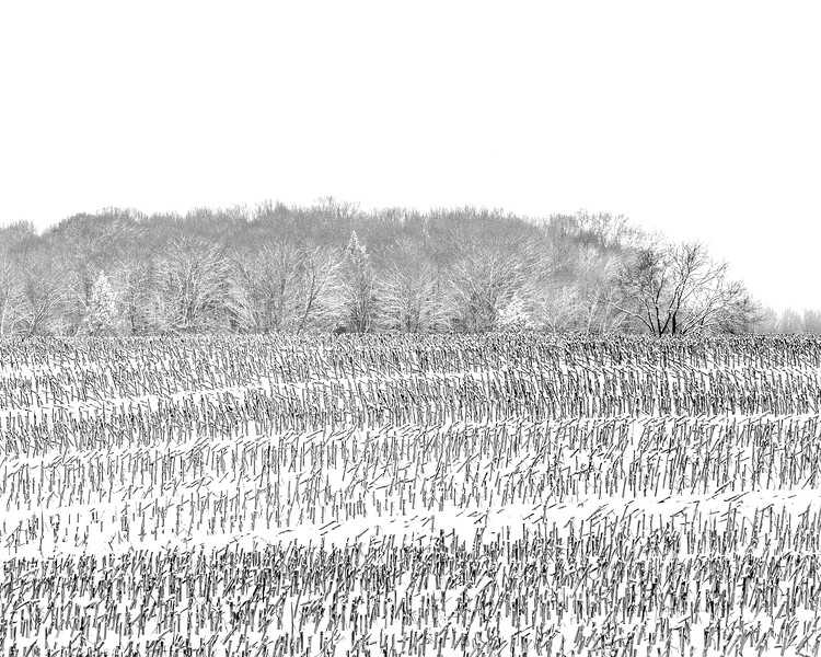 Cut Cornfield in Snow