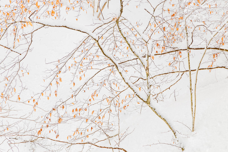 Beech Leaves Against Snowy Hill