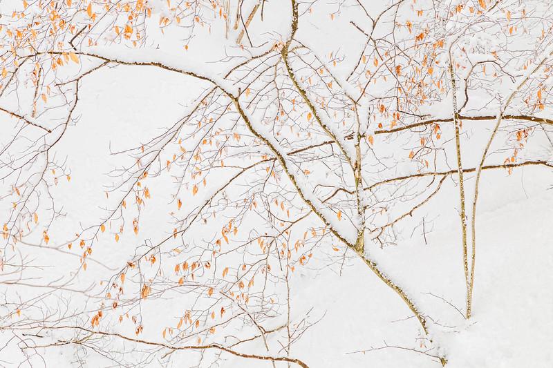 Beech Tree #2