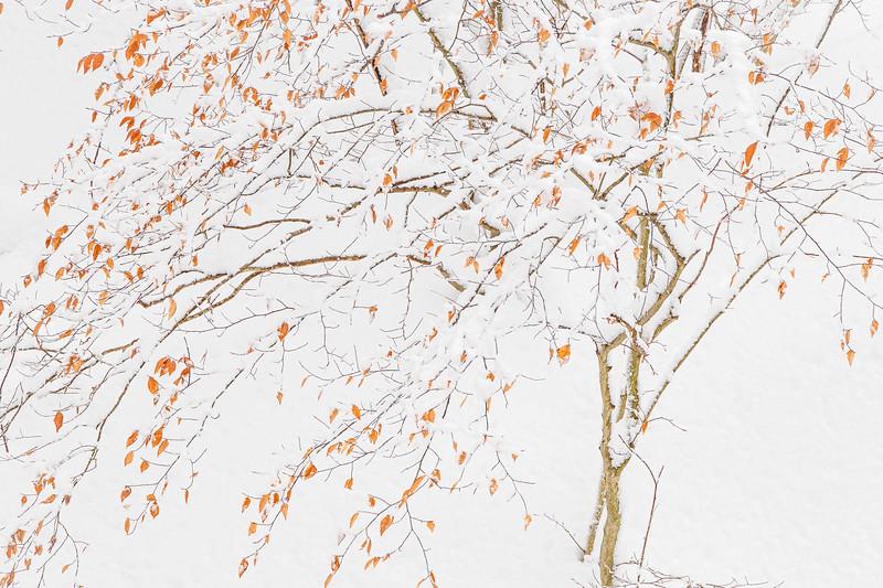 Beech Tree #1
