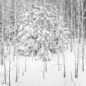 Spruce and Aspen in Snow
