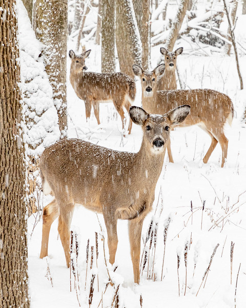 The Fairy Chasm Herd in a Snowstorm, Mequon Wisconsin