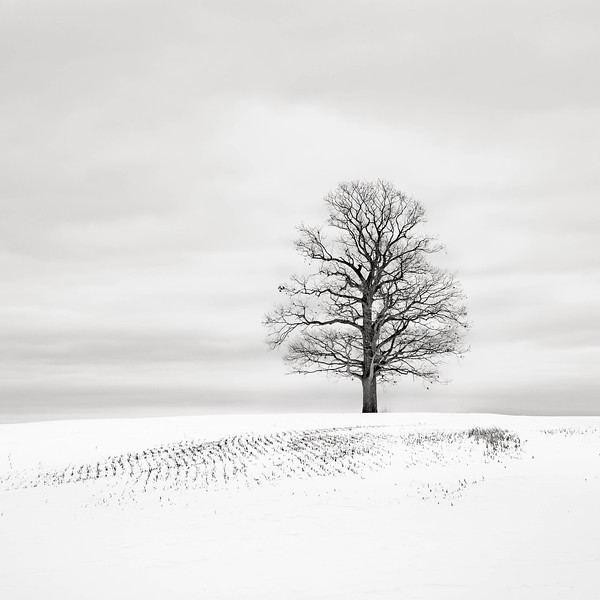 Maple Tree in Snowfield