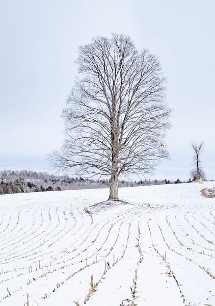 Maple in Corn Field