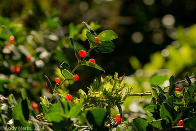 Backlit berries , handheld, A6k, Metabones, Canon 70-200 f/2.8L