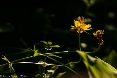 Globe flowers, 25' away, spot metering, spot focus, 300/2.8L