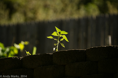 Sony Alpha-6000 AF thru Canon 300  2.8L on a young sunflower 80' away.