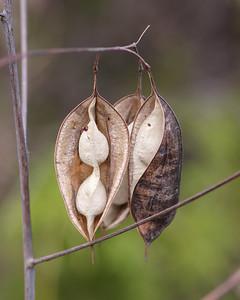 Bagpod seed pods, Garland, TX (Nov 2019)