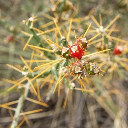 Cholla cactus fruit, Rock Garden Trail, Palo Duro Canyon, Canyon, TX (Sep 2018)