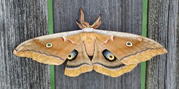 Female polyphemus moth, 5 1/2 inch wing span, Garland, TX (Sep 2020)