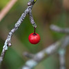 Yaupon holly berry, Garland TX (Dec 2015)