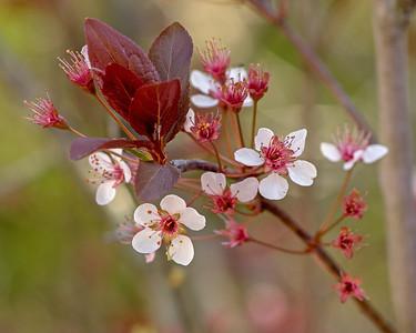 Black cherry plum (Prunus cerasifera 'Nigra'), Garland TX (Mar 2018)