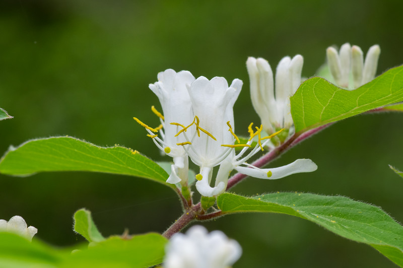 Amur honeysuckle, Garland TX (Apr 2018)