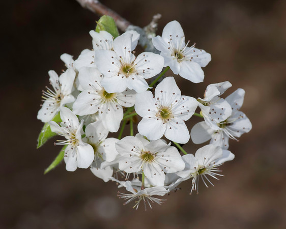 Bradford pear, Garland TX (Mar 2018)